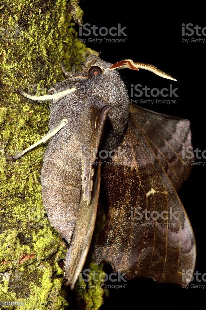 Poplar hawk-moth (Laothoe populi) in profile stock photo