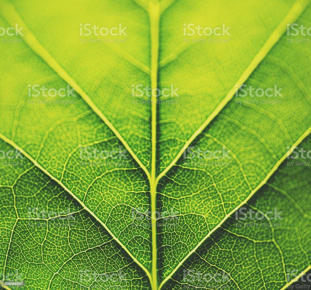 Poplar Leaf Textures stock photo
