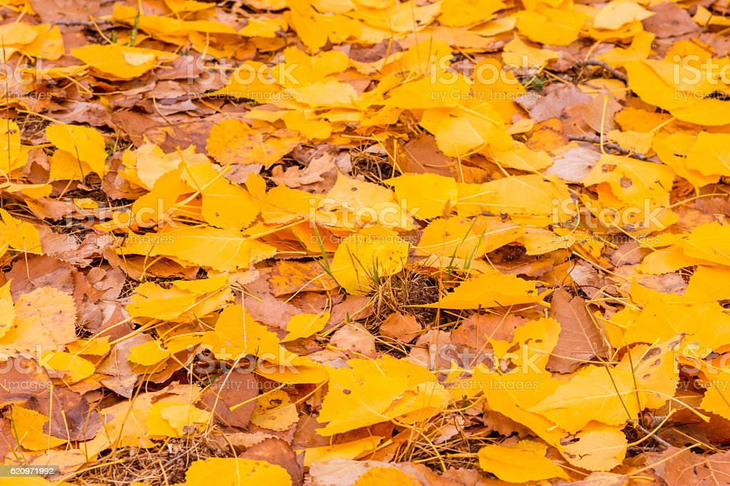 Poplar leaves in autumn stock photo