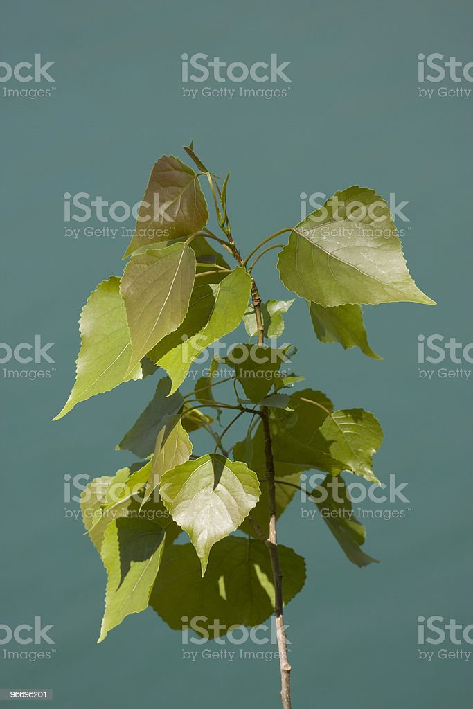 poplar leaves royalty-free stock photo