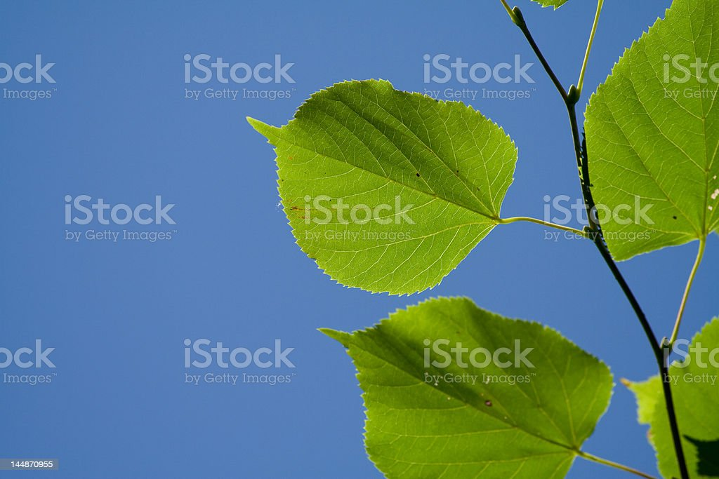 poplar royalty-free stock photo
