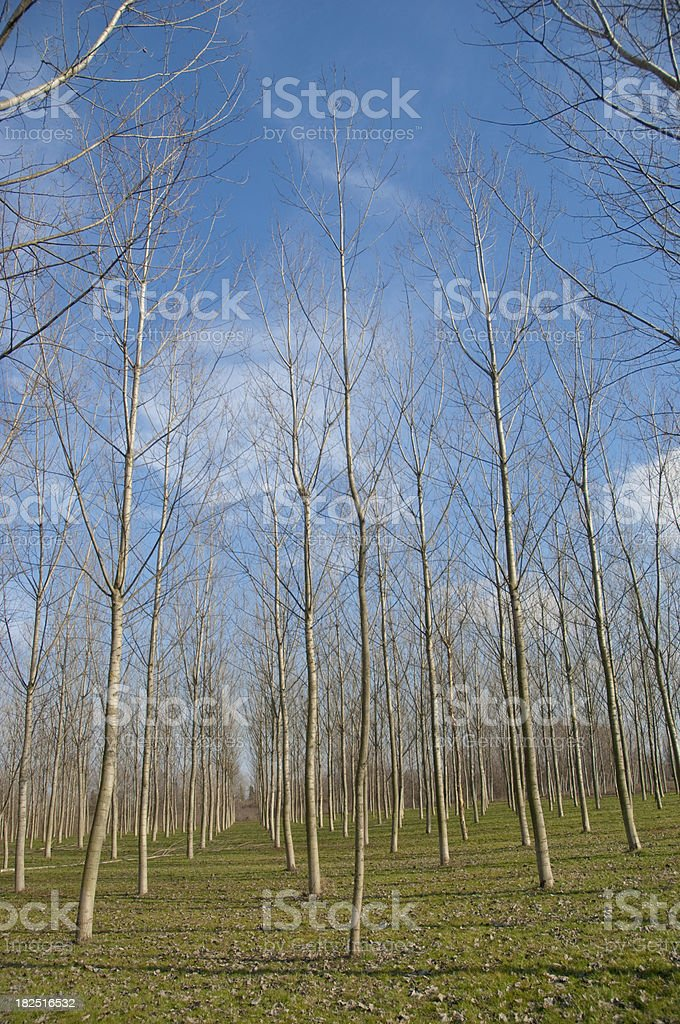 Poplar plantation royalty-free stock photo
