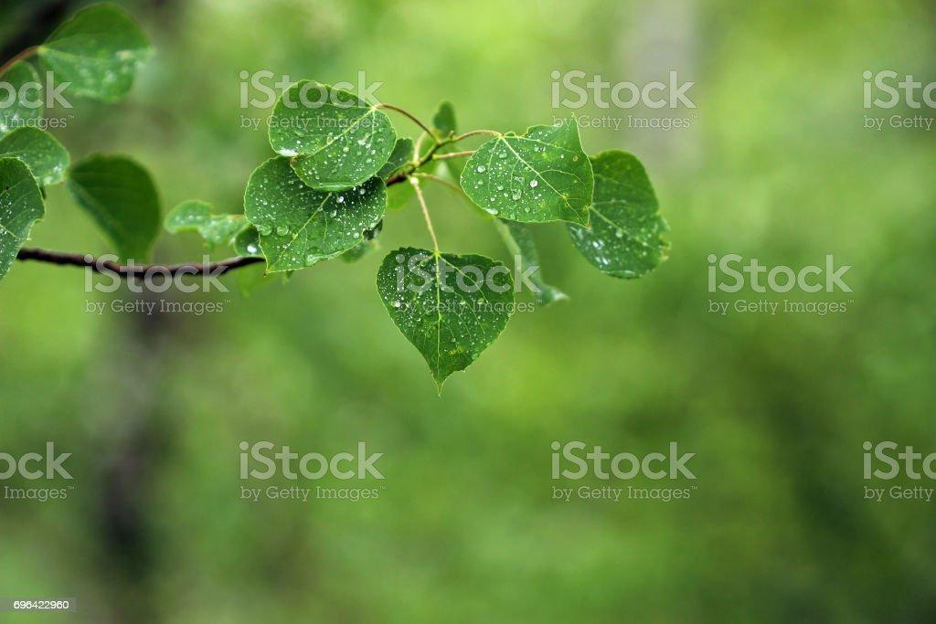 Poplar rain stock photo