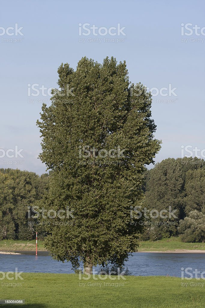 poplar tree at Rhine river royalty-free stock photo