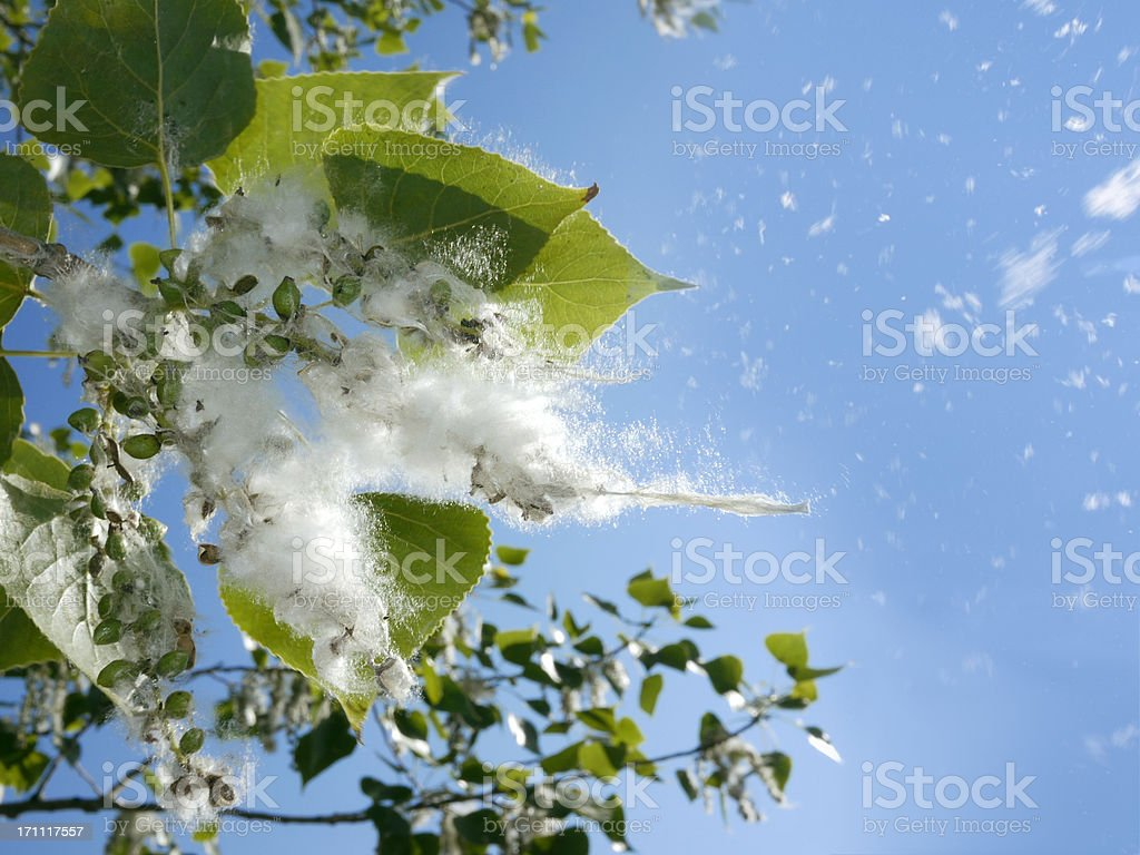 Poplar tree buds stock photo