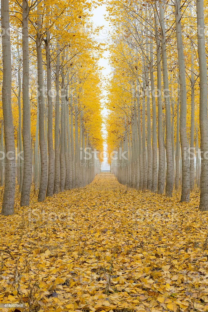 Poplar Tree Farm One Foggy Morning in Fall Season stock photo