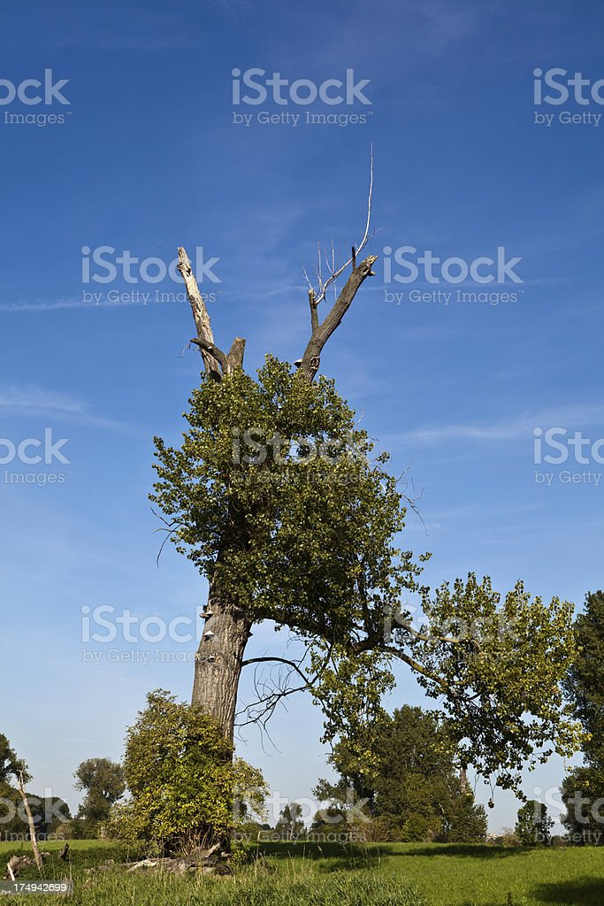 poplar tree hit by lightning stock photo