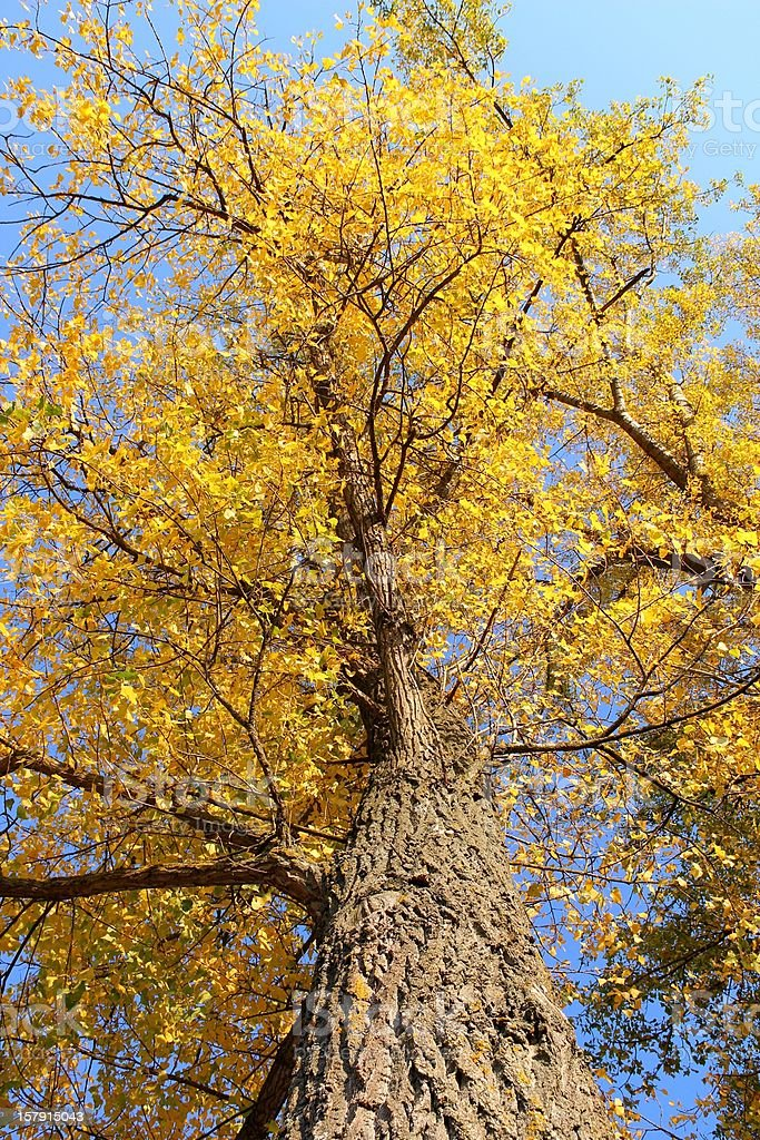 Poplar tree in autumn royalty-free stock photo