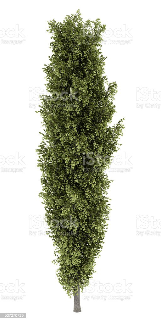 poplar tree isolated on white background stock photo