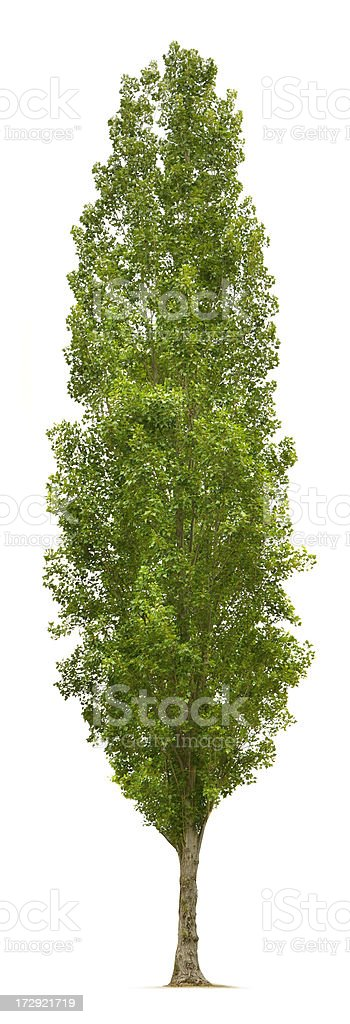 Poplar Tree stock photo