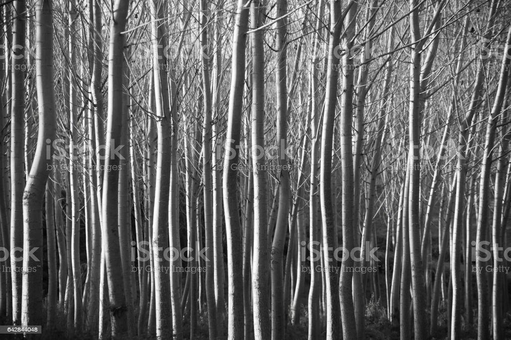 Poplar tree trunks, forest in black and white, full frame.. stock photo