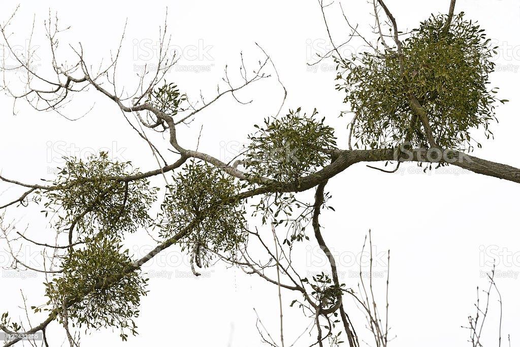 Poplar Tree with mistletoes royalty-free stock photo