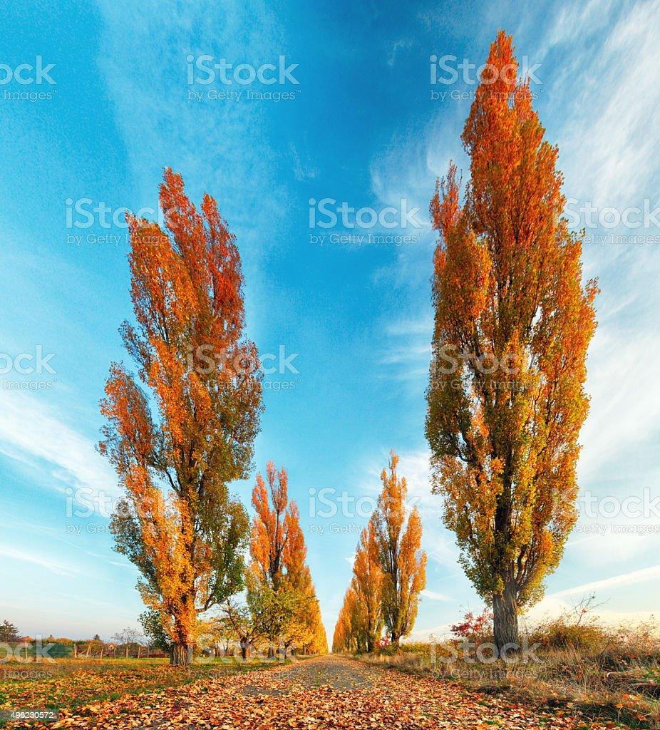 Poplar tree with road at fall stock photo