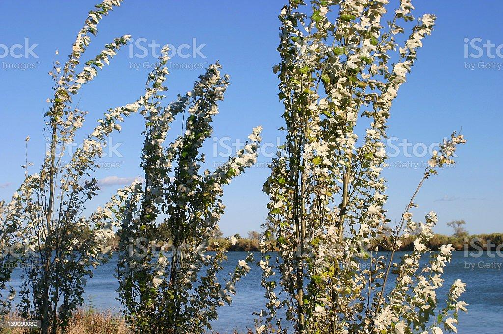 Poplar trees at Ebro Delta royalty-free stock photo