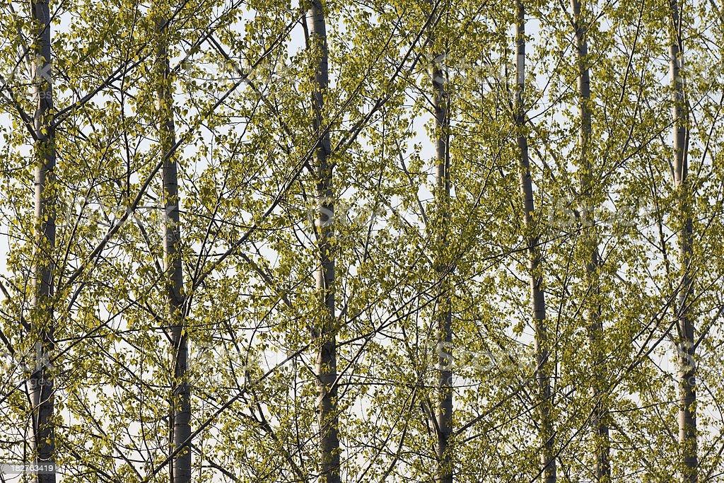 Poplar Trees in a Row royalty-free stock photo