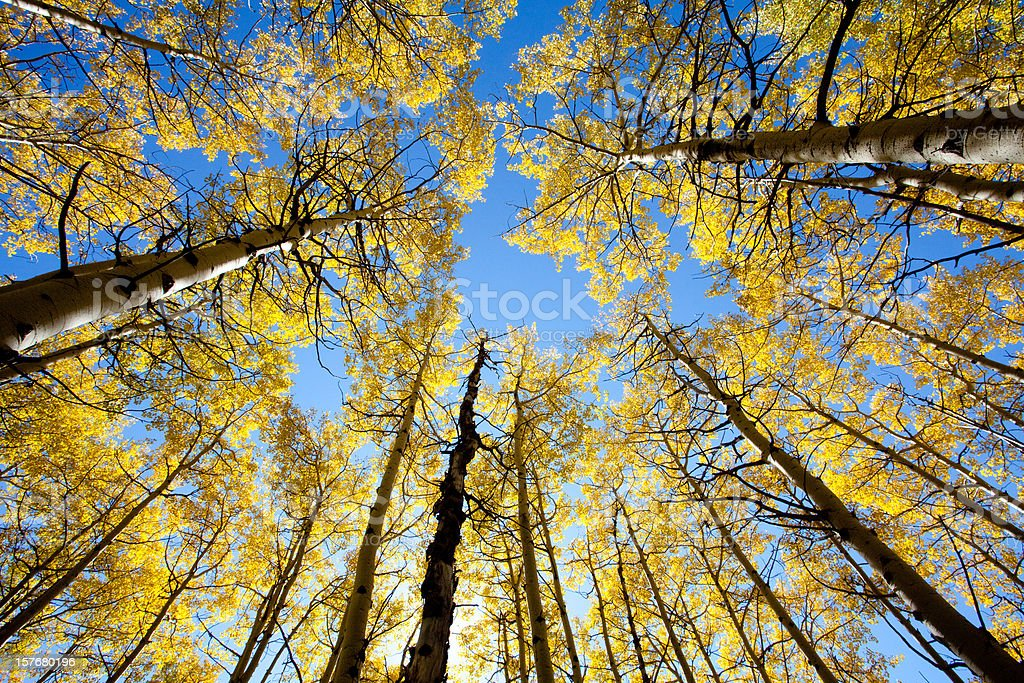 Poplar Trees in Fall stock photo
