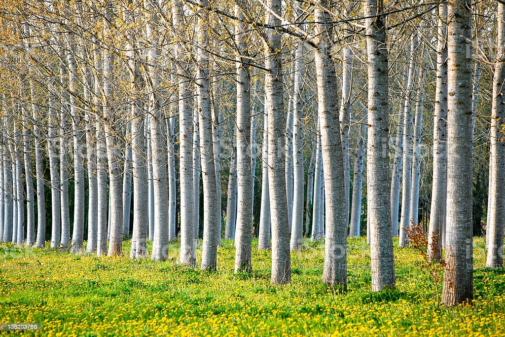 Poplar trees stock photo
