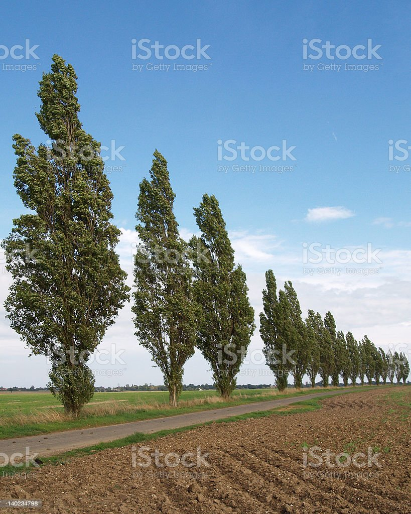 Poplar trees royalty-free stock photo