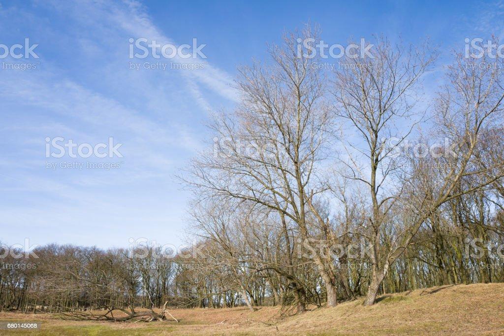 Poplar trees. stock photo