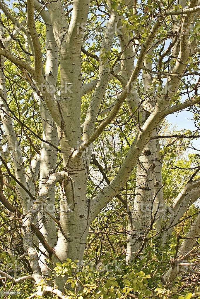 Poplar trees royalty-free stock photo