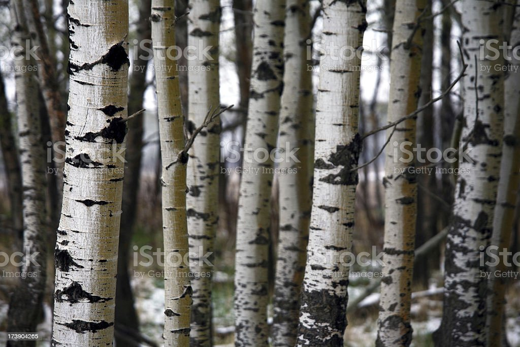 Poplar Trunks royalty-free stock photo