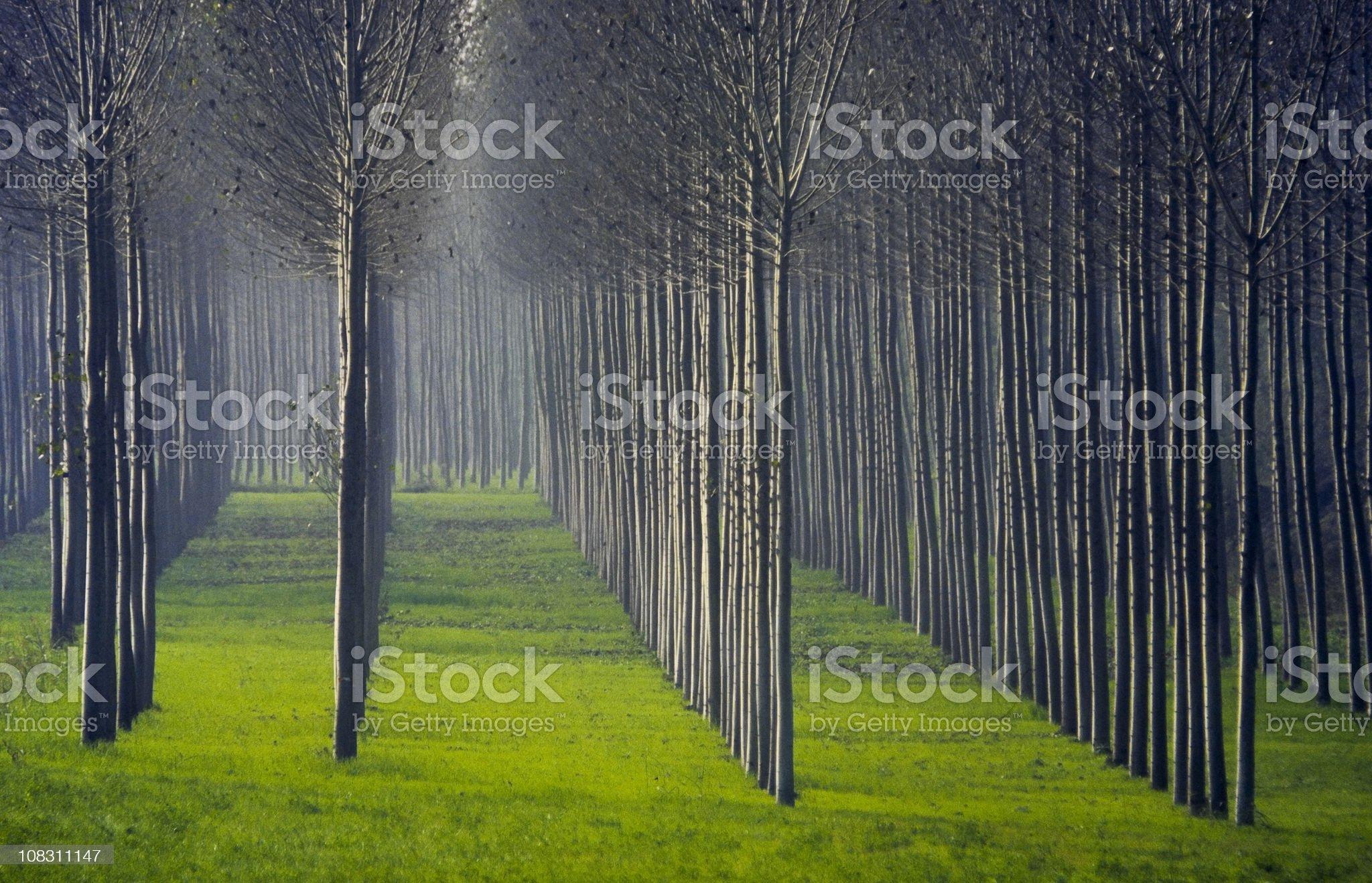poplar wood royalty-free stock photo