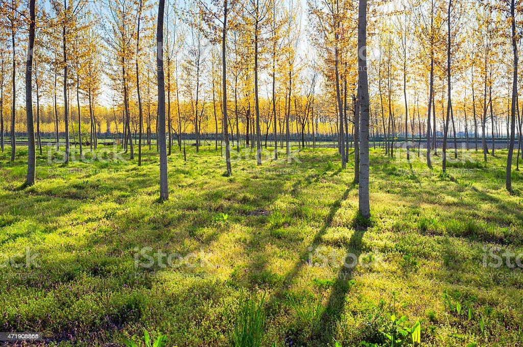 Poplar woods backlight. Color image stock photo