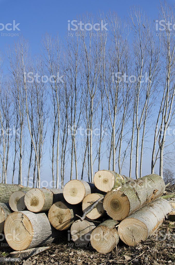 Poplars cut and stacked royalty-free stock photo