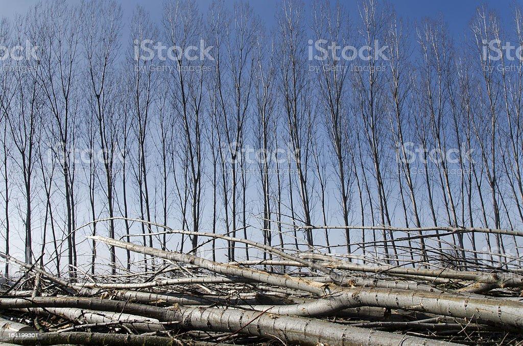 Poplars felled royalty-free stock photo