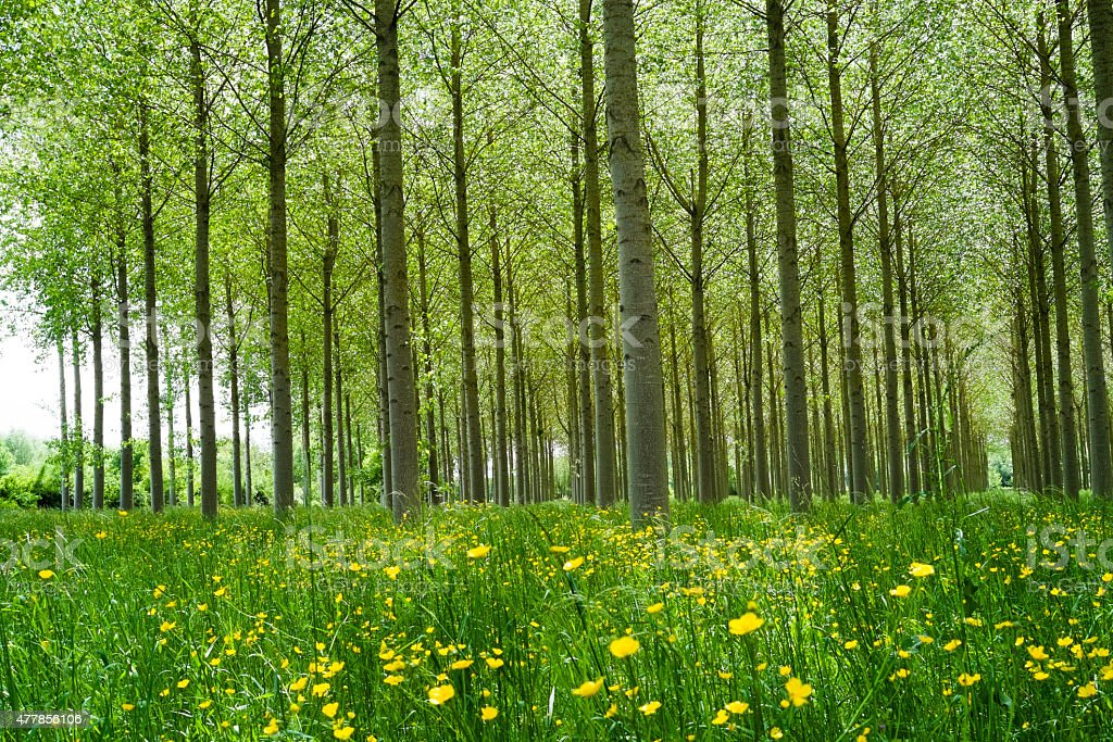 Poplars forest stock photo