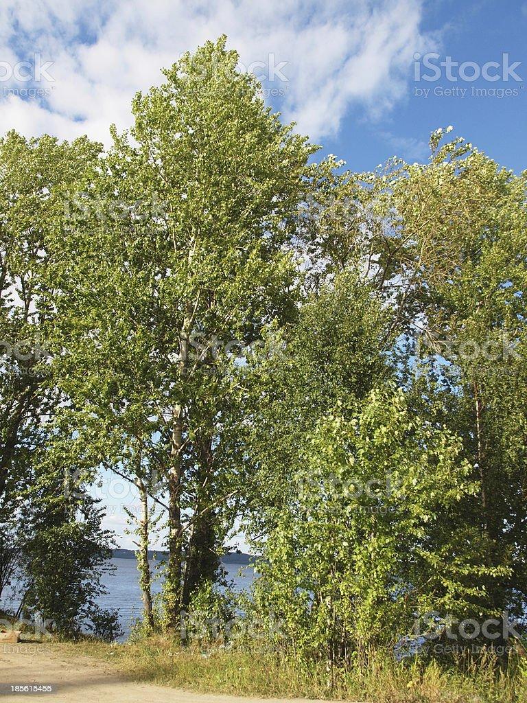 Poplars on the lake royalty-free stock photo