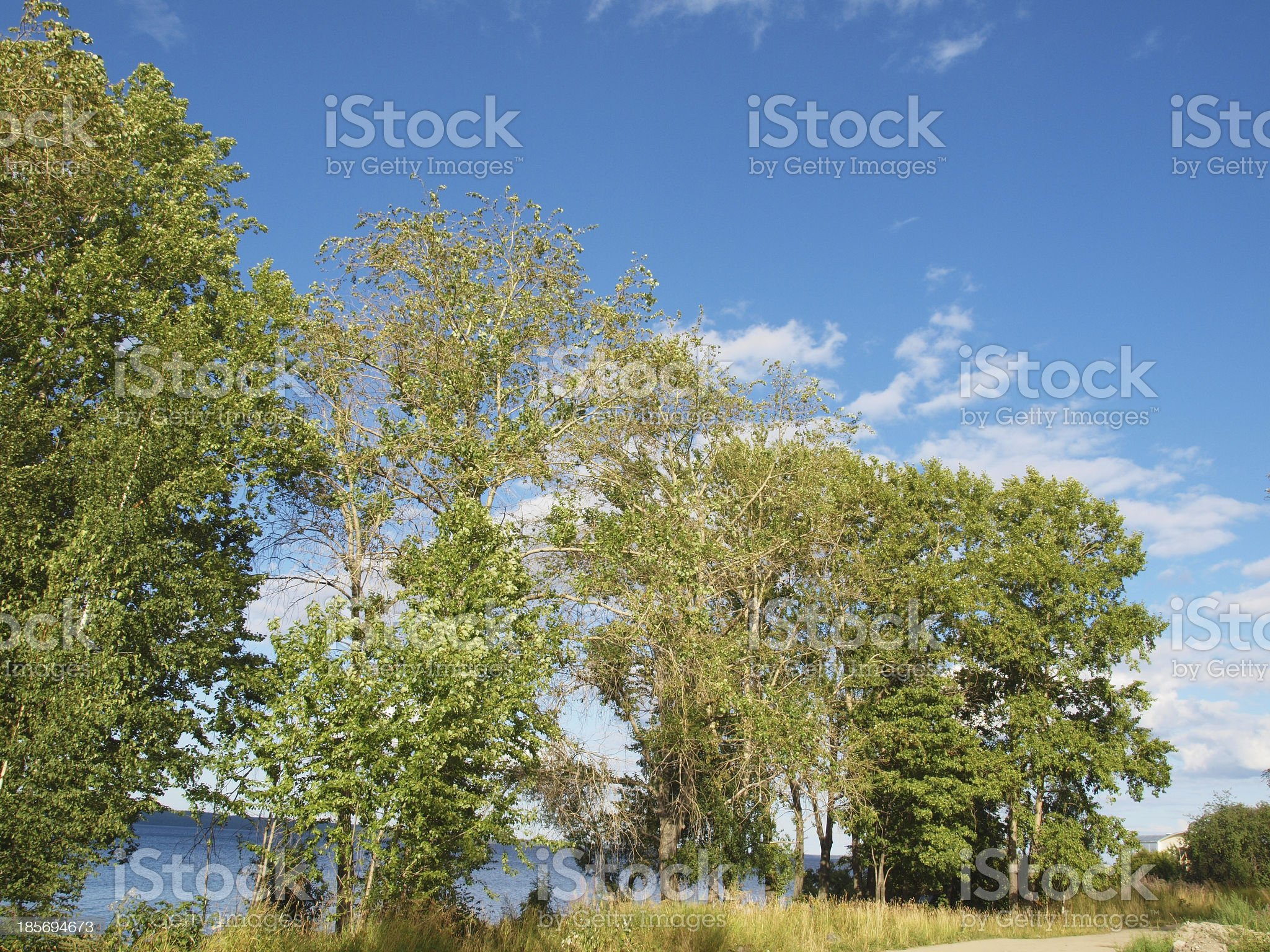 Poplars on the lake royalty-free stock photo
