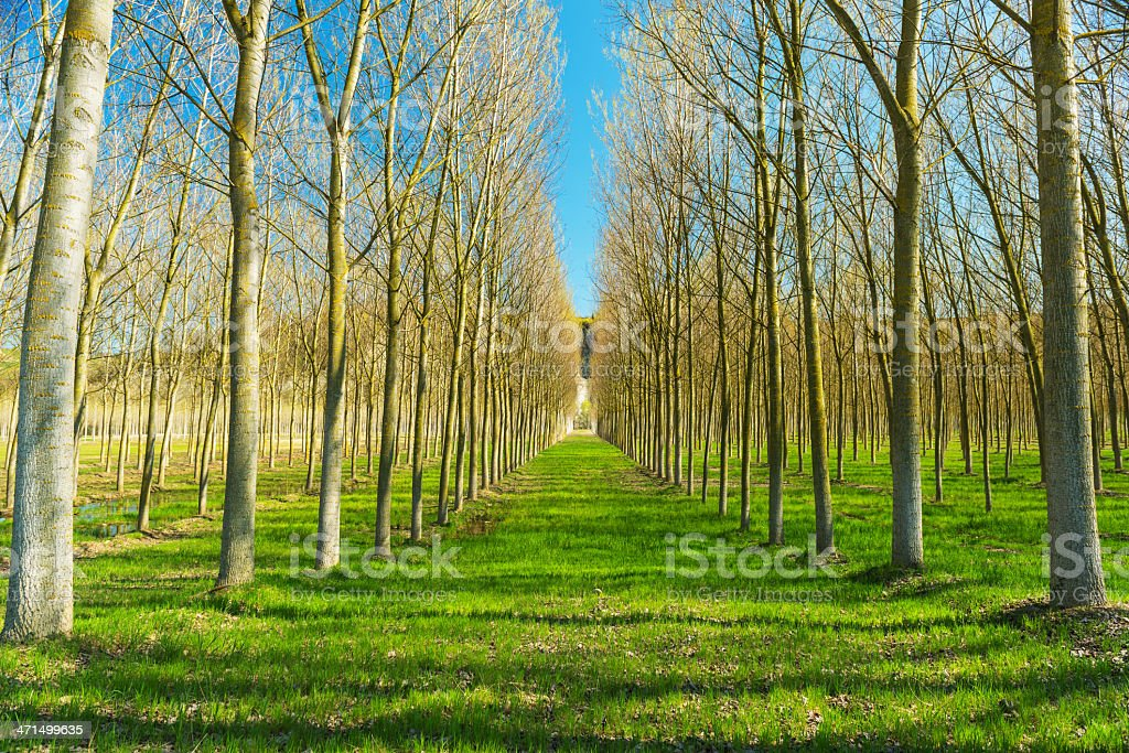 Poplars royalty-free stock photo