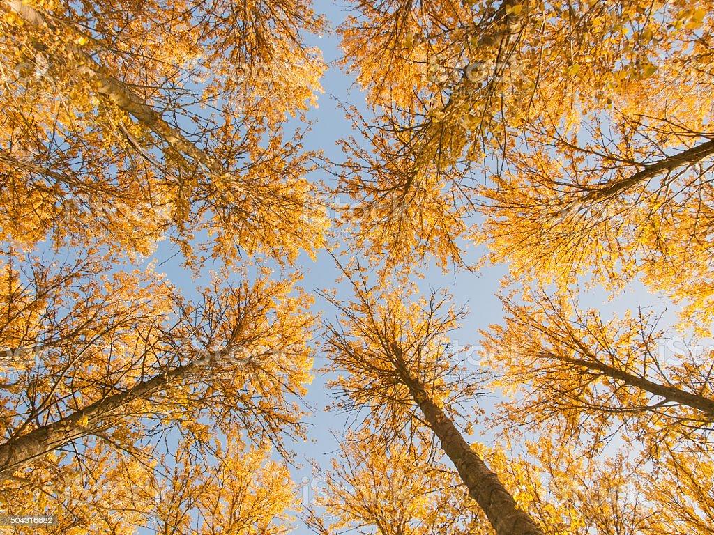Poplars stock photo