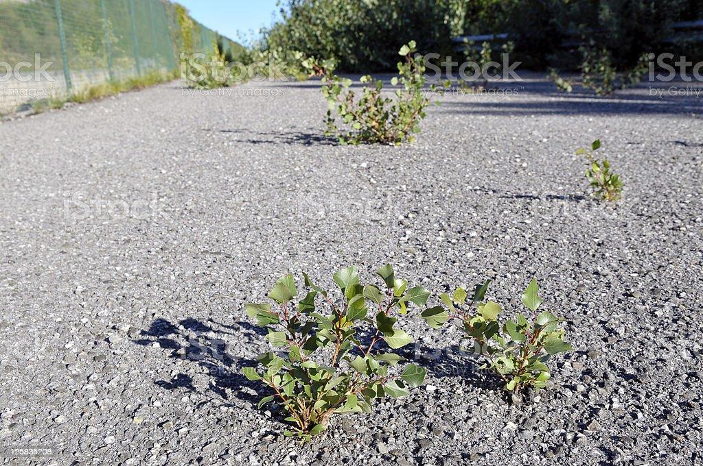 Poplars' Victory Against Asphalt royalty-free stock photo