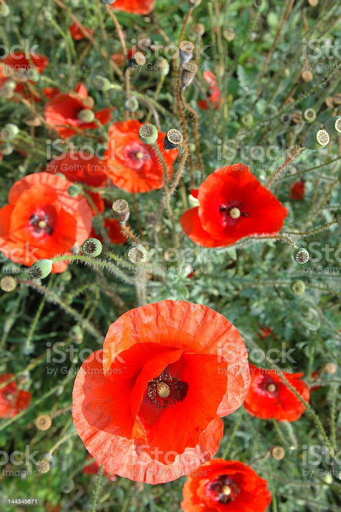 Poppie Field royalty-free stock photo