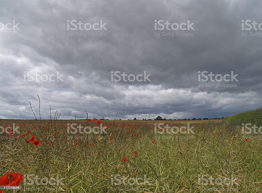 Poppies 2 royalty-free stock photo