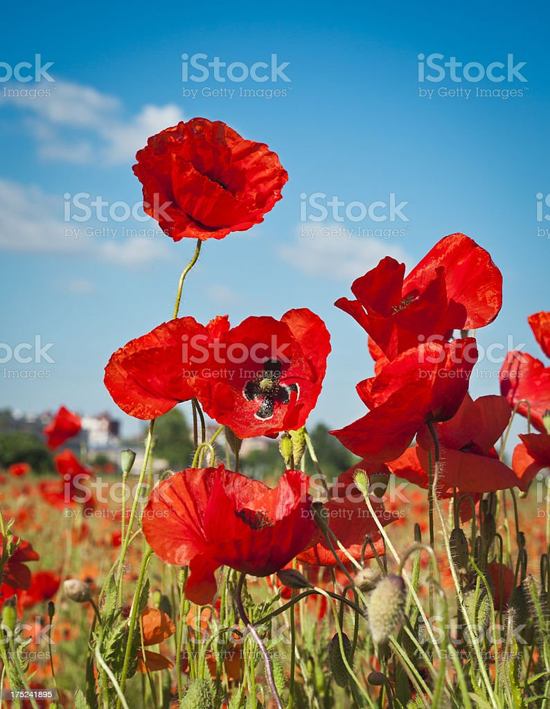 Poppies Against Blue Sky, Vertical royalty-free stock photo