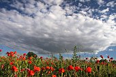 poppies and a lot of sky