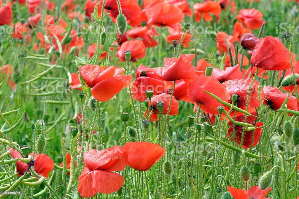 Poppies and Buds royalty-free stock photo