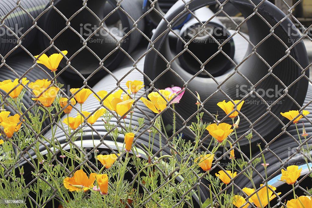 Poppies and Chain Link Fence stock photo