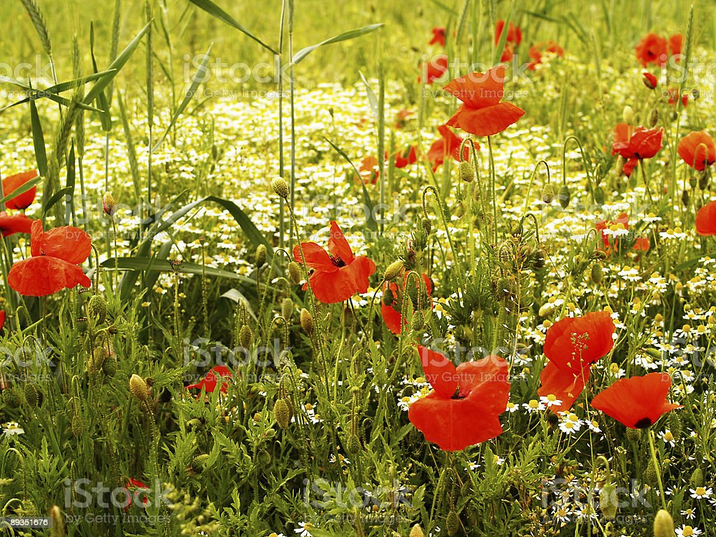 poppies and chamomile meadow stock photo