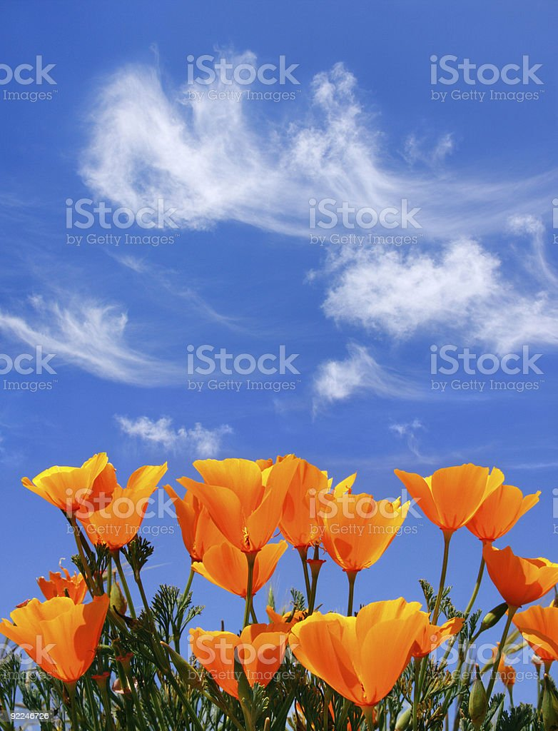 Poppies and Clouds royalty-free stock photo