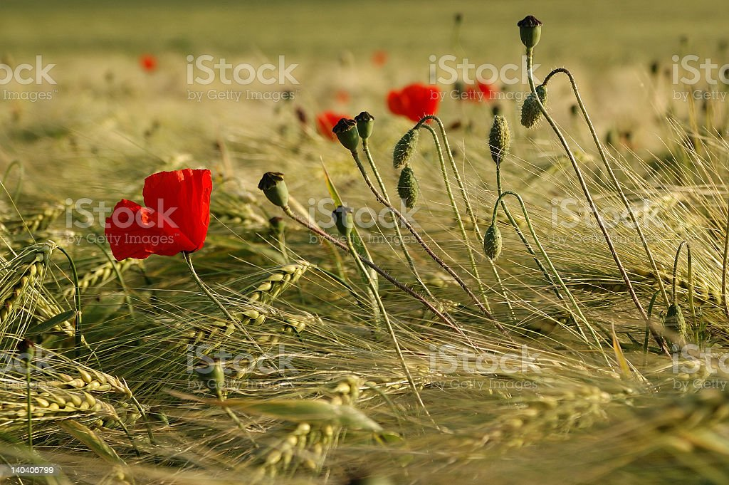 poppies and corn royalty-free stock photo