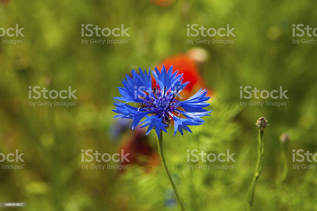 Poppies and cornflowers in meadow royalty-free stock photo