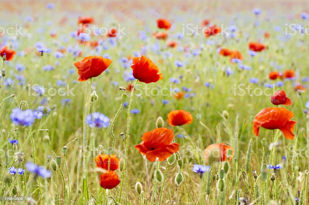 Poppies and cornflowers royalty-free stock photo