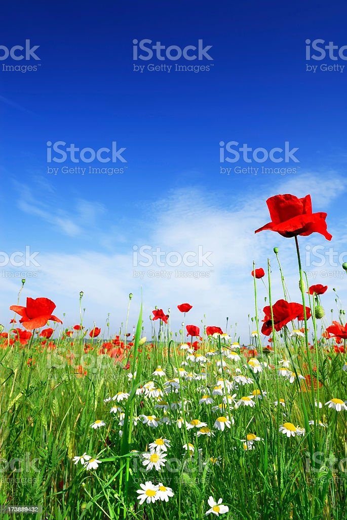 Poppies and daisies in a grassy meadow royalty-free stock photo