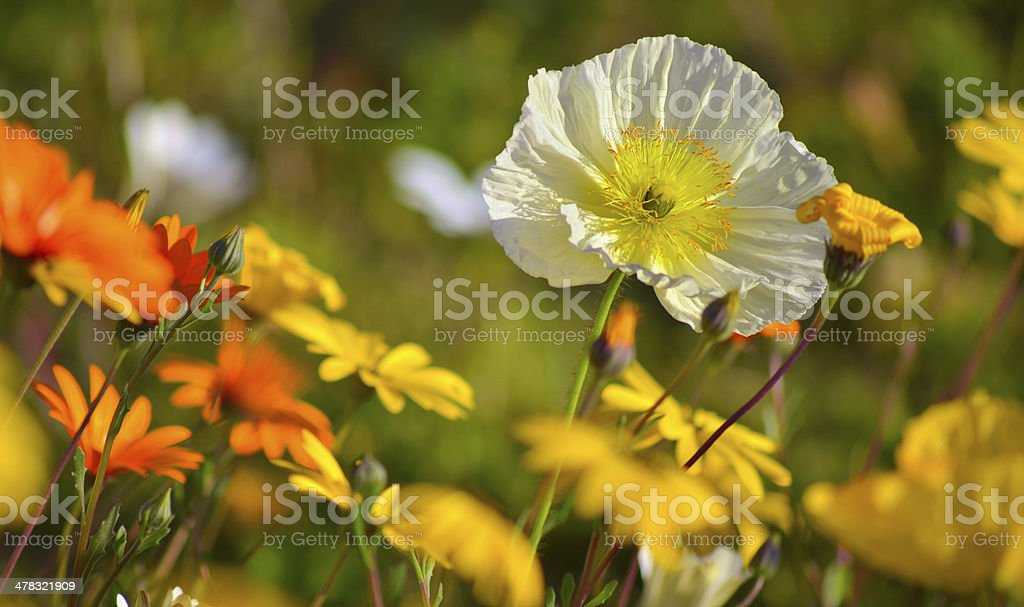 Poppies and Daisies royalty-free stock photo