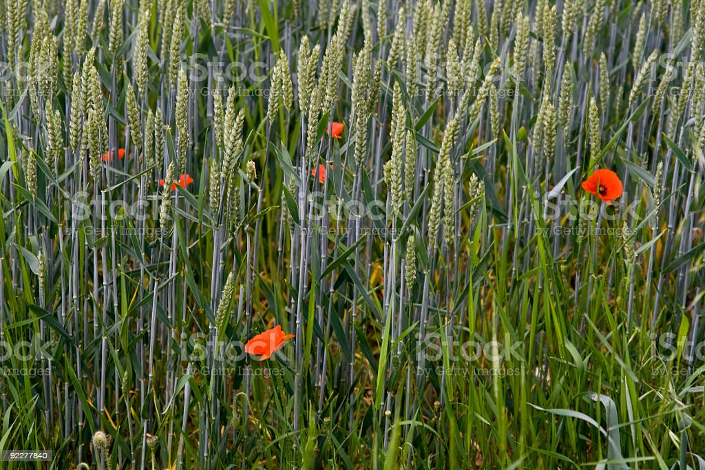 Poppies and green wheat royalty-free stock photo