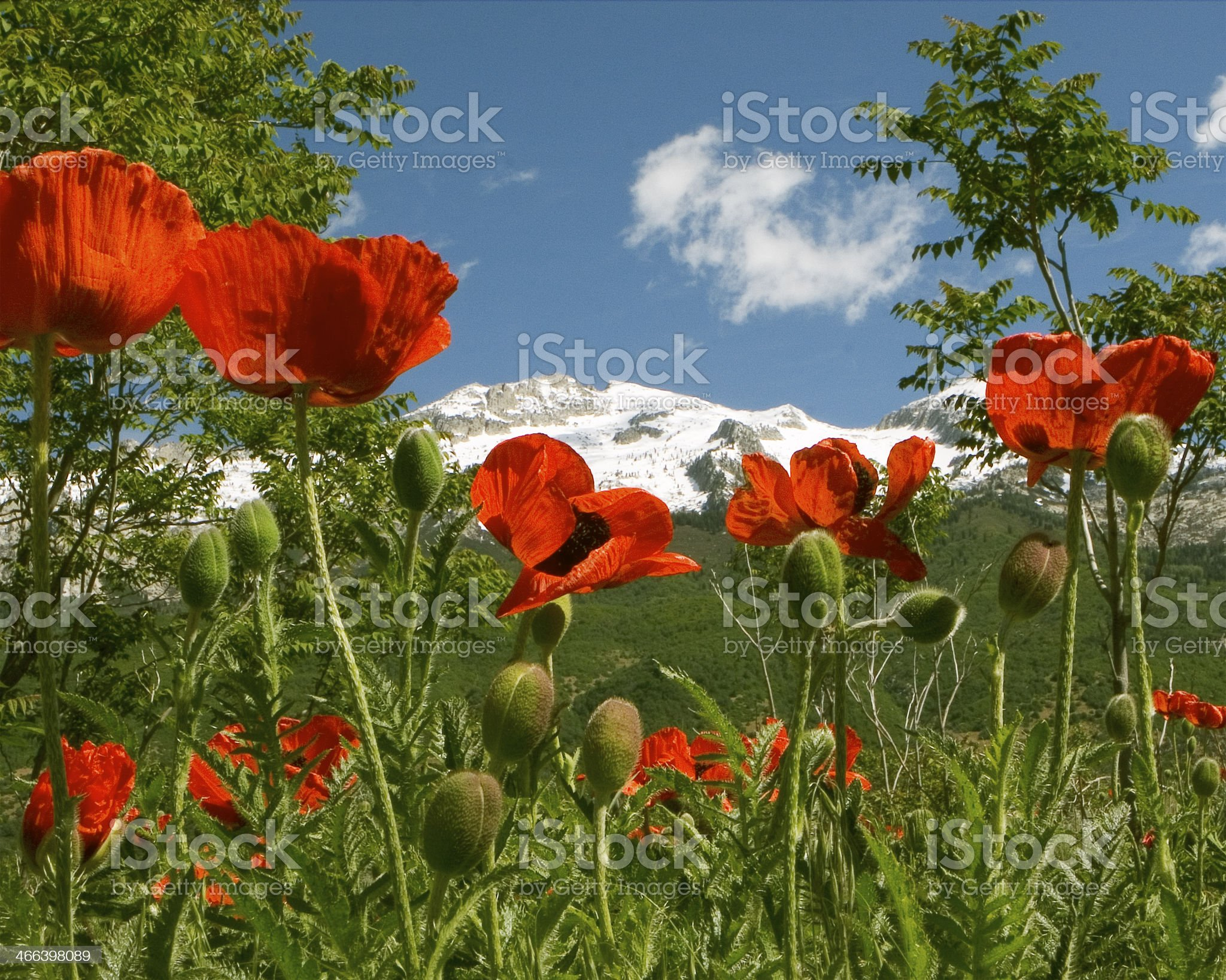 Poppies and Lone Peak royalty-free stock photo